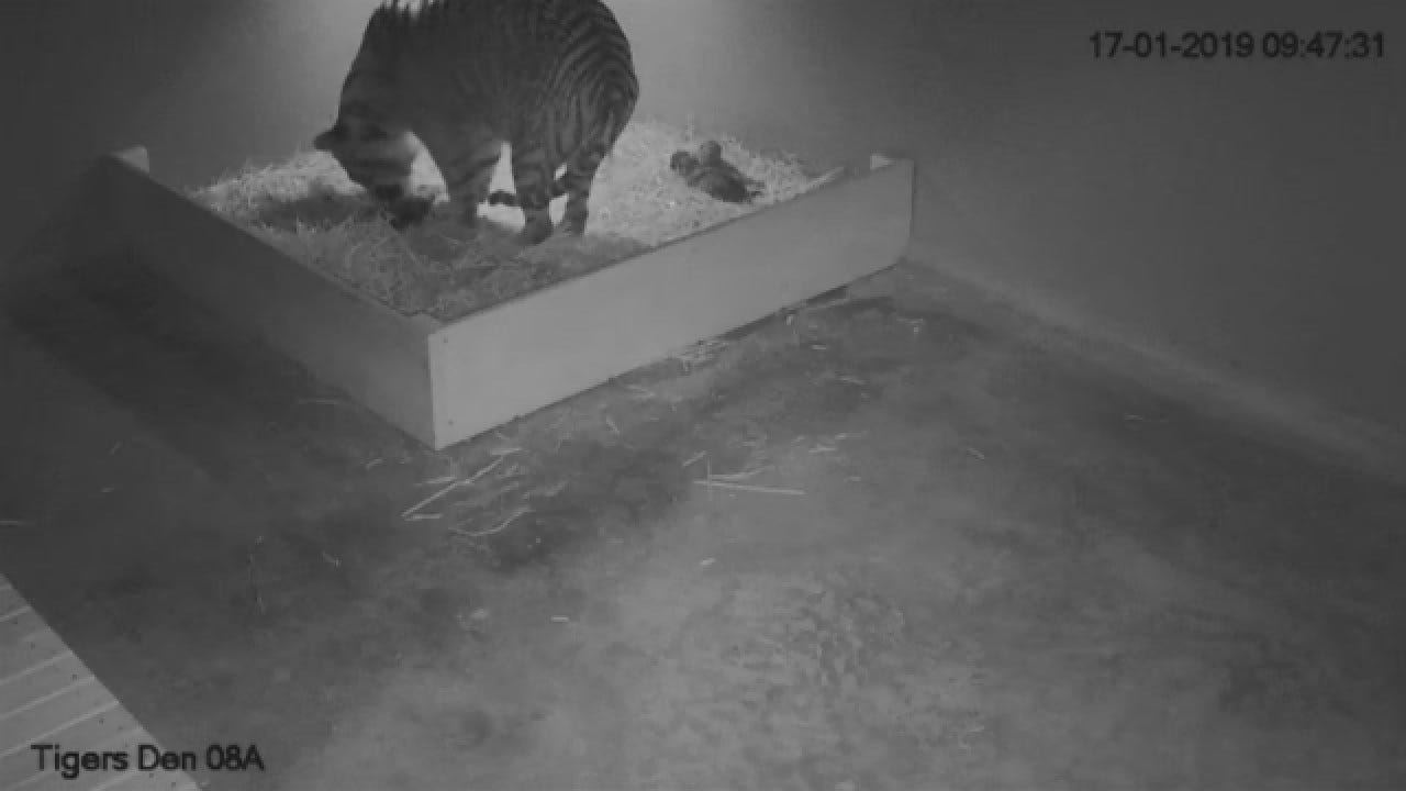 Critically Endangered Tiger Cubs Born At Sydney Zoo