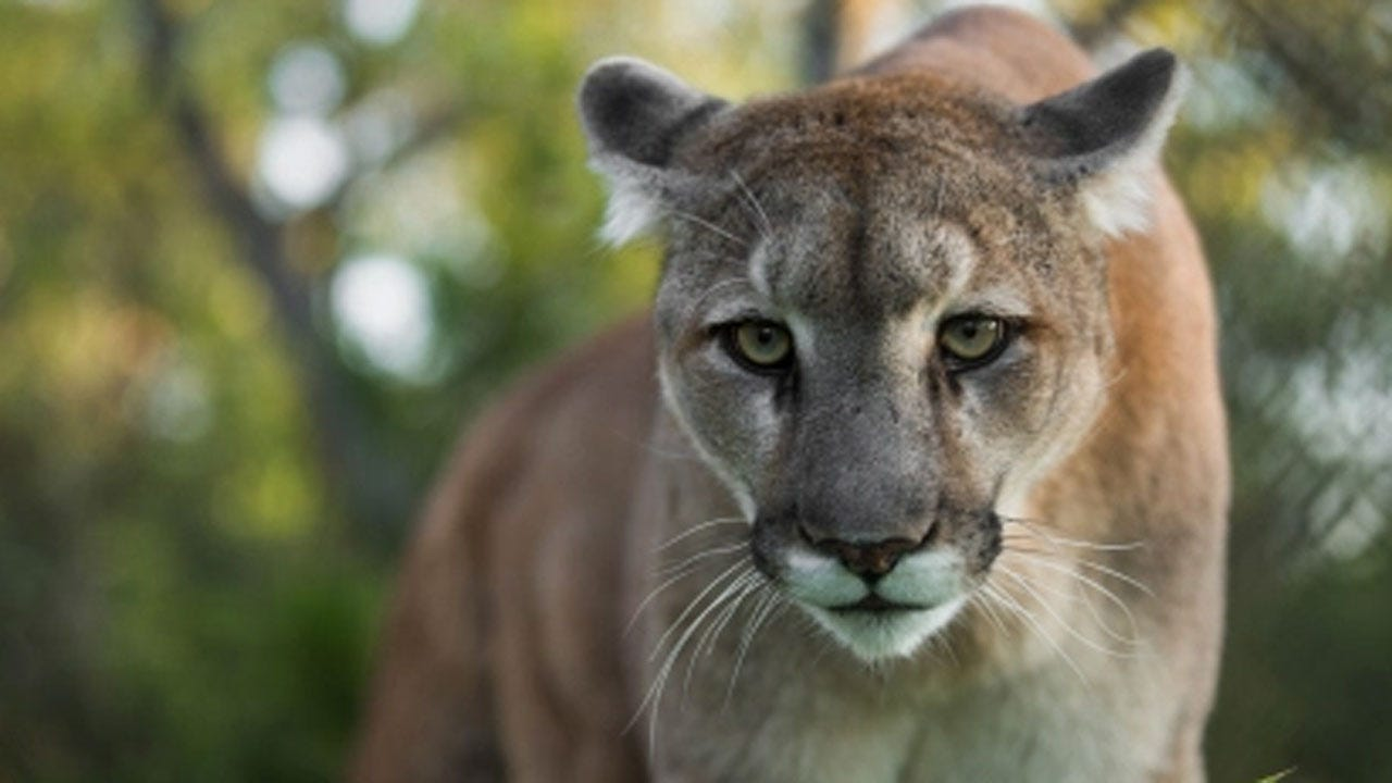 Runner Attacked By Mountain Lion Suffocates It, Officials Say