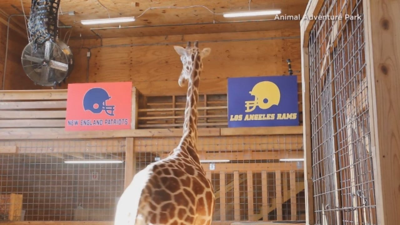 April The Giraffe Makes Her Pick For The Super Bowl