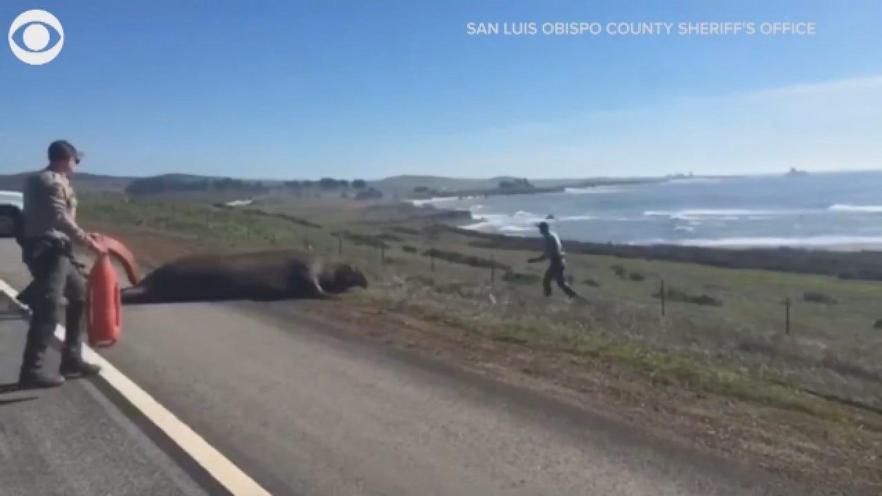 California Deputies Help Elephant Seal Go Back To Ocean