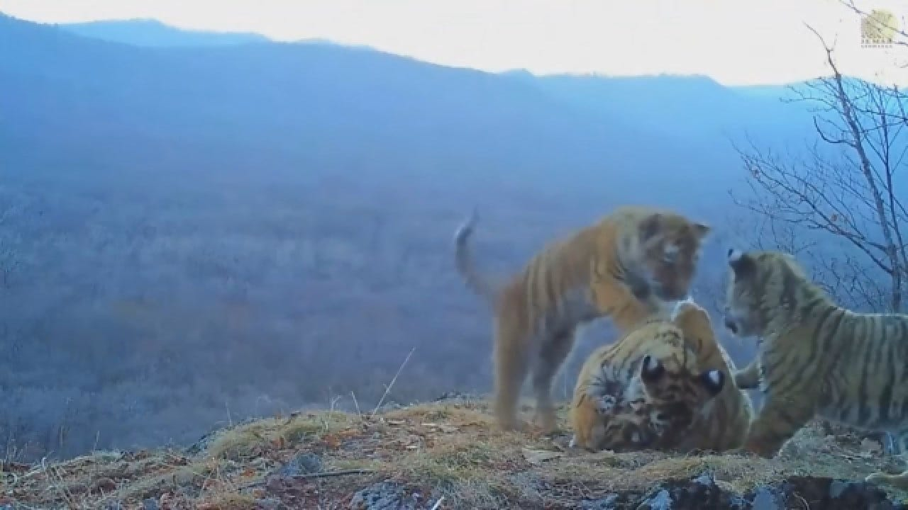 Rare Footage Shows Amur Tigers Playing