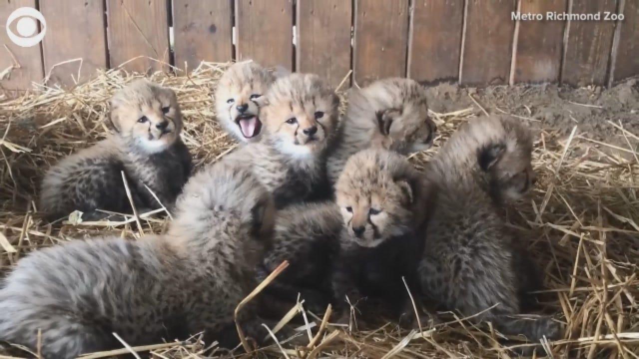 Septuplets! 7 Cheetah Cubs Born At Virginia Zoo