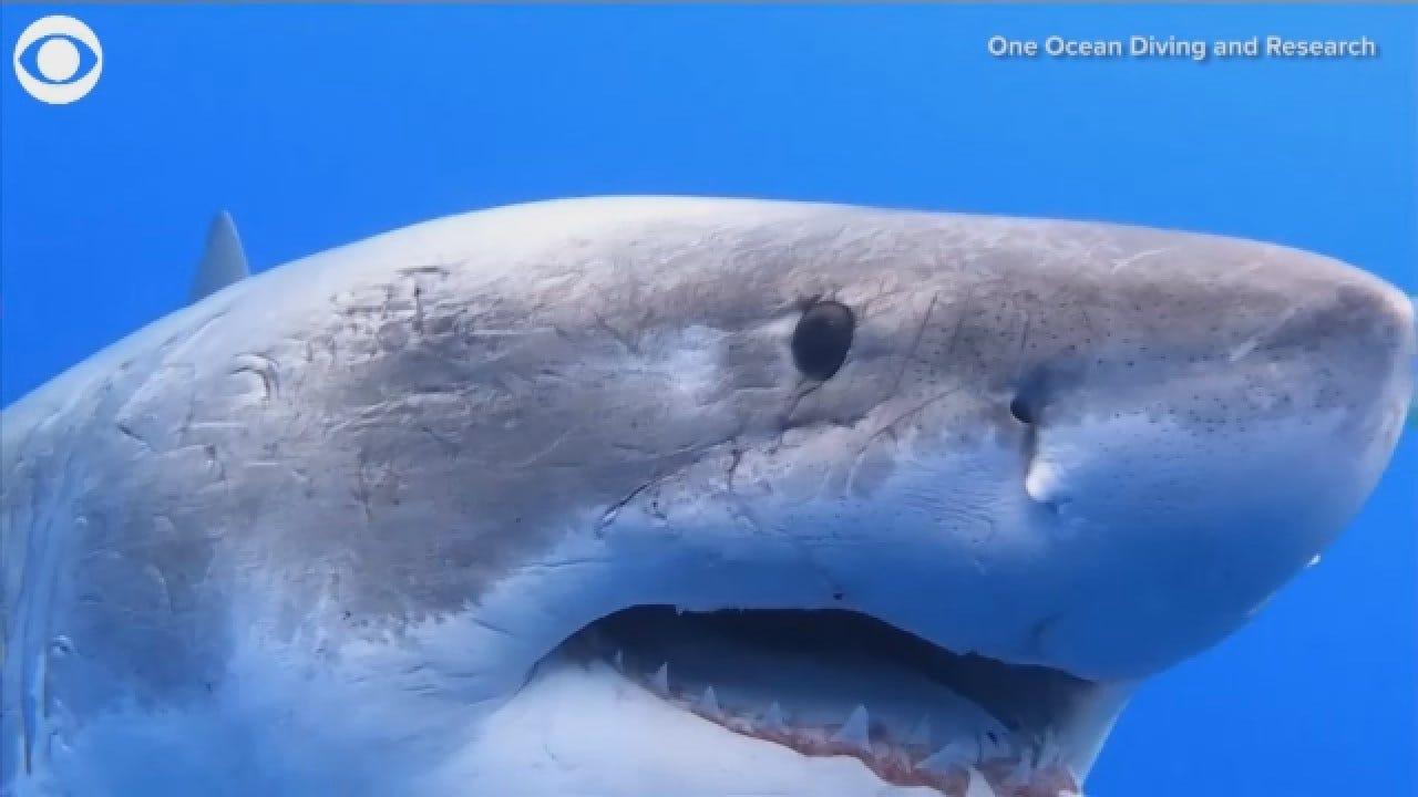 Divers Swim Next To Giant Great White Shark