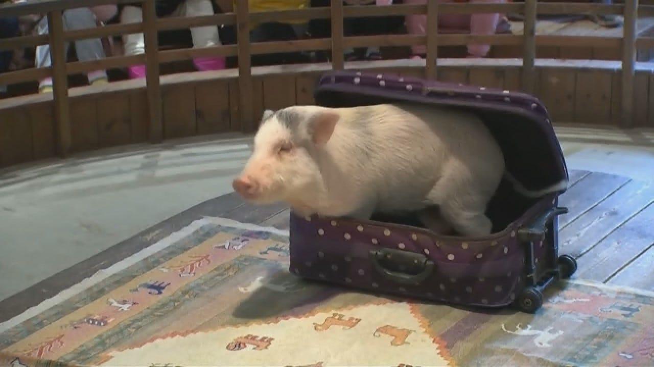 Pig Museum Gaining Popularity