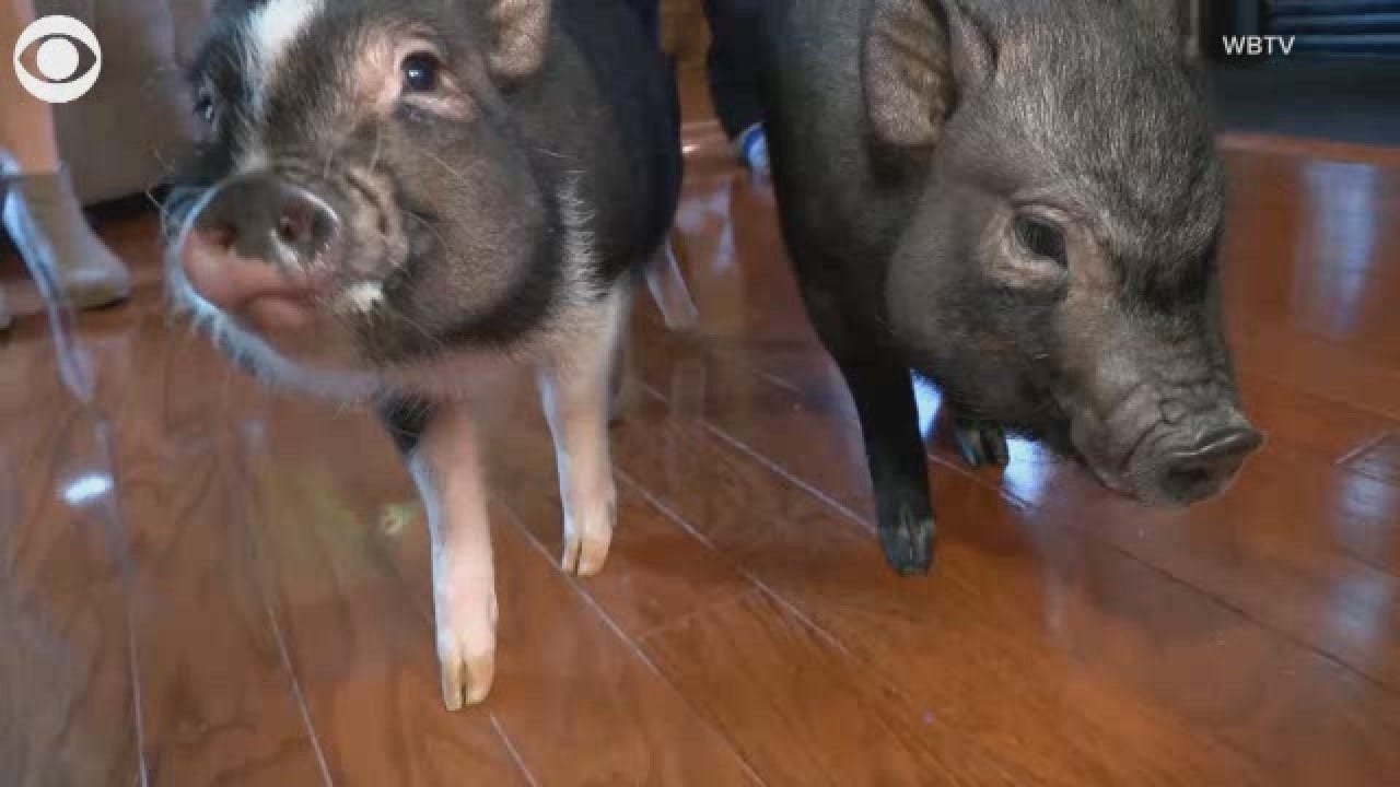 Officer Creates 'Bacon Response Team,' A Pair Of Therapy Pigs