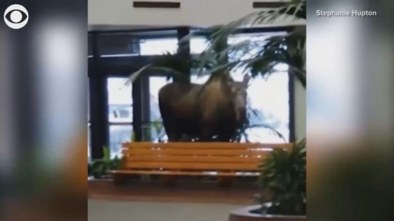 Moose Snacks On Plants In a Hospital In Alaska