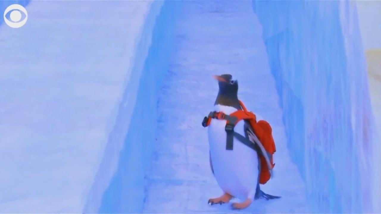 Penguin Takes Turn Down Ice Slide