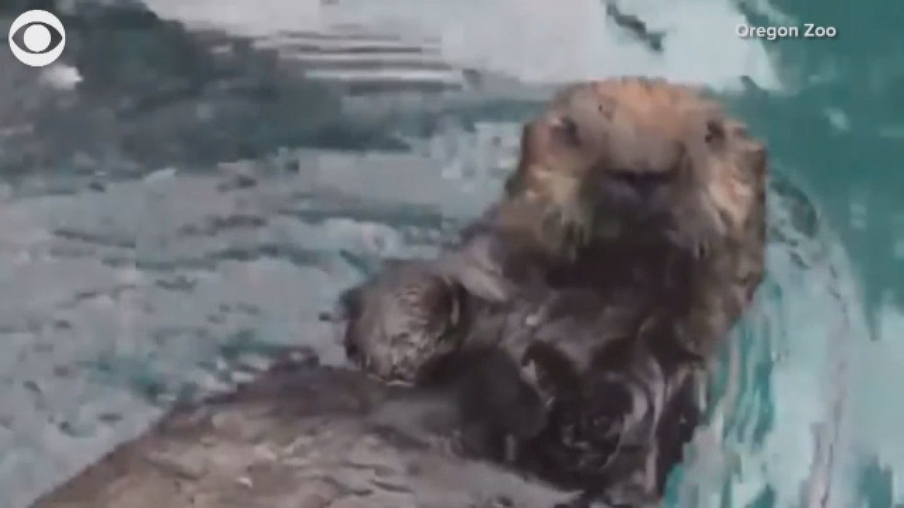 Meet Lincoln: The Screaming Otter