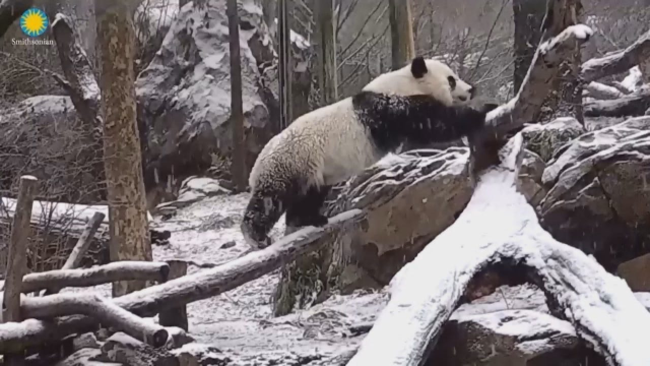 'Bei Bei' The Panda Is Having The Best Christmas