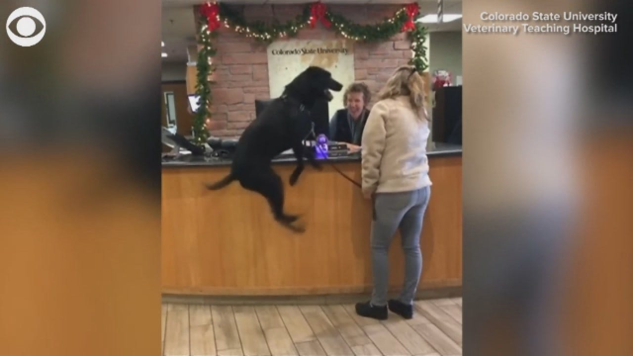 Dog Repeatedly Jumps For Joy At Trip To Vet