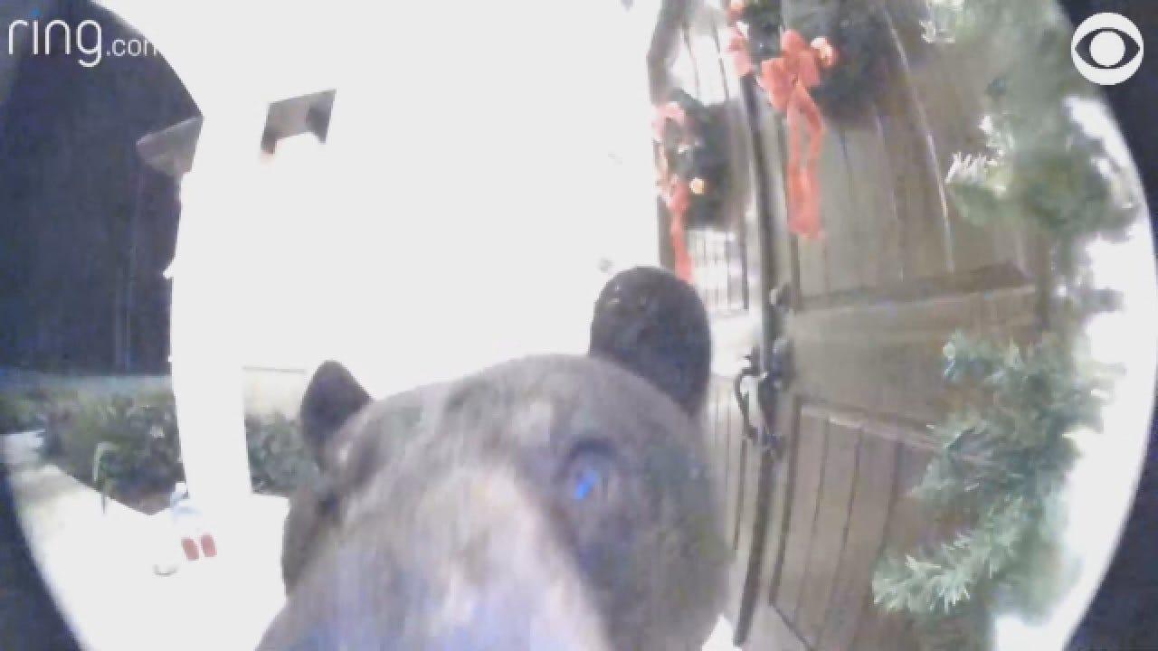 Curious Bear Rings Doorbell