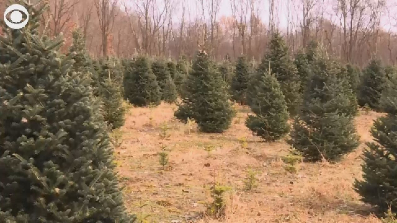 27 Million Trees Will Be Bought This Christmas