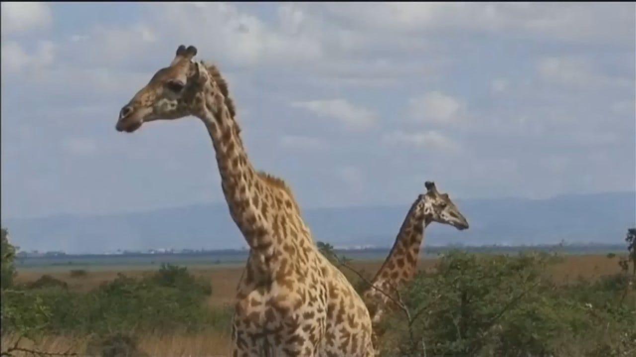 Experts Say Just 2,000 Kordofan Giraffes Left In Africa