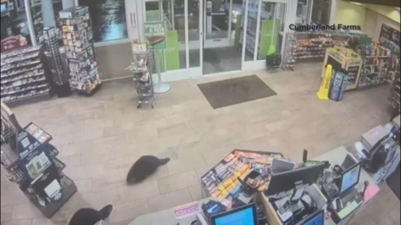 Beavers Visit Massachusetts Convenience Store