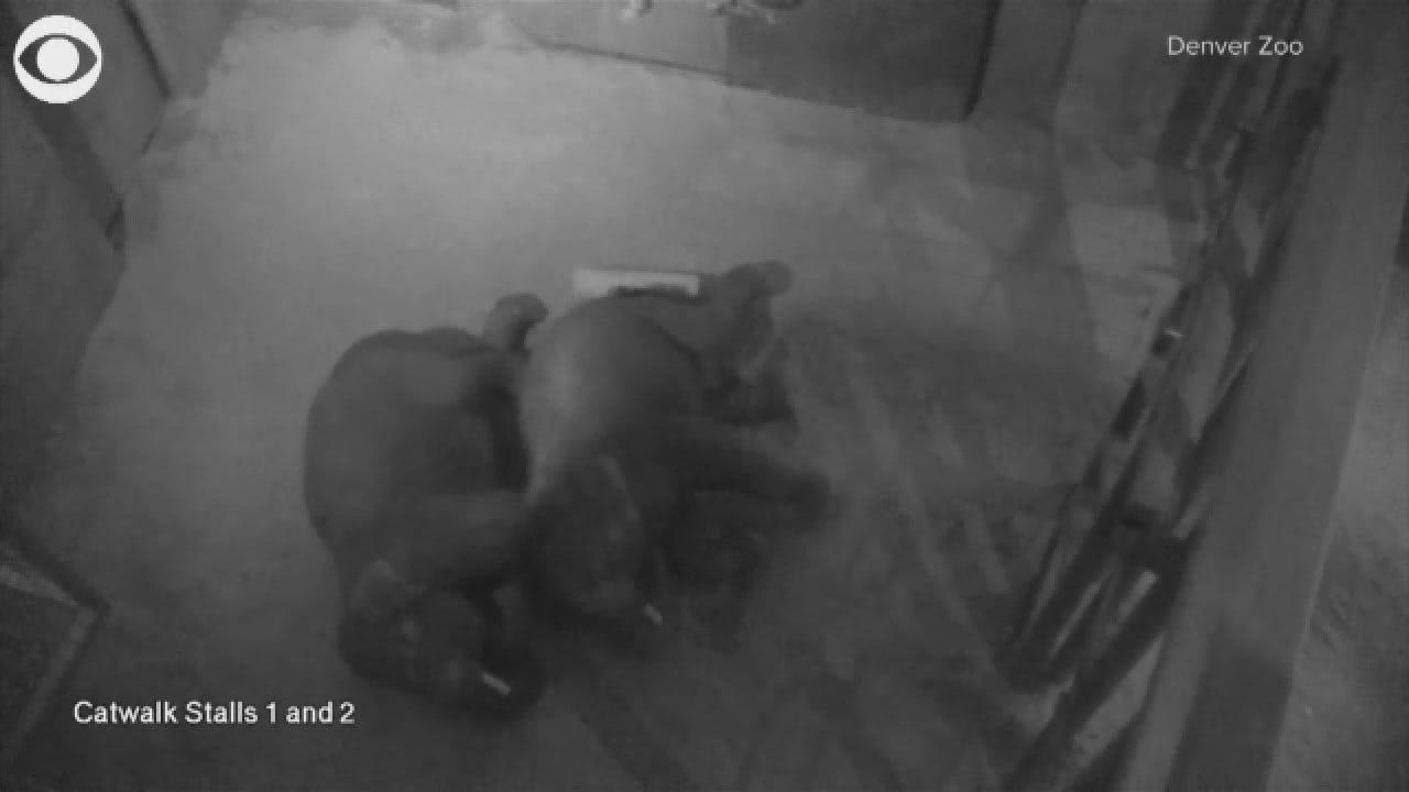 Elephants Snuggle At Denver Zoo