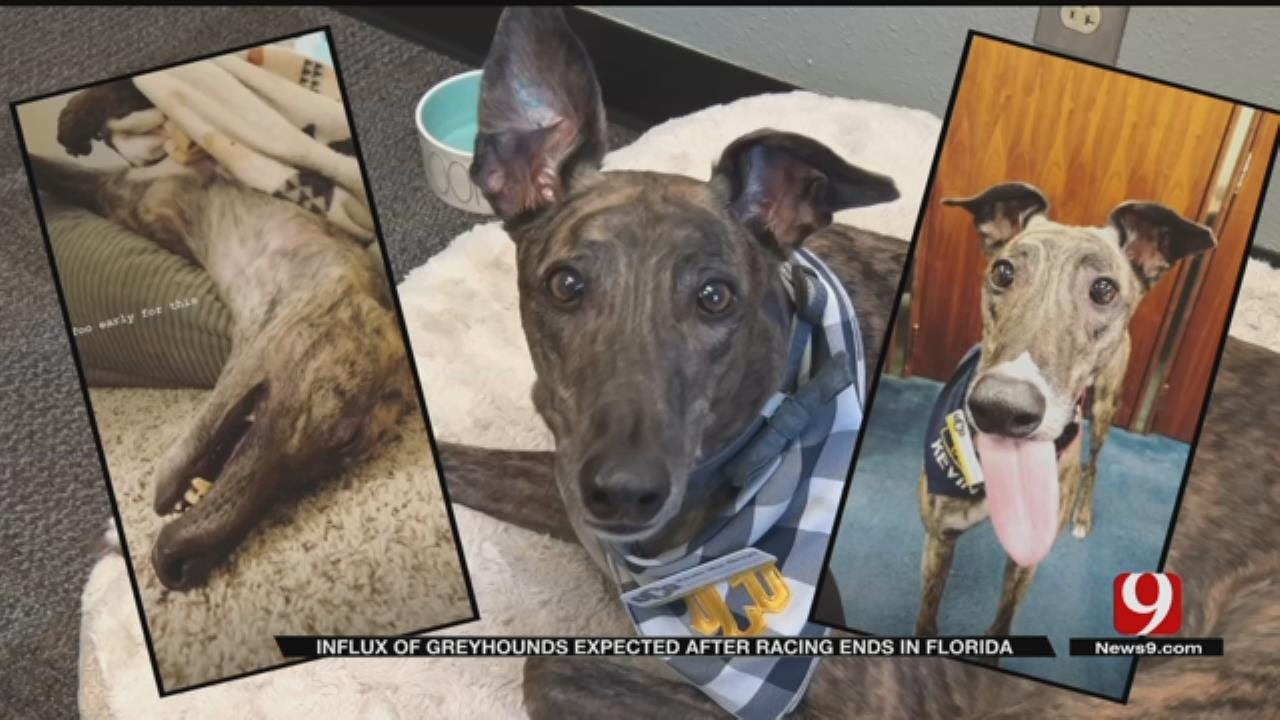 Greyhounds Heading To Oklahoma As Florida Bans Dog Racing