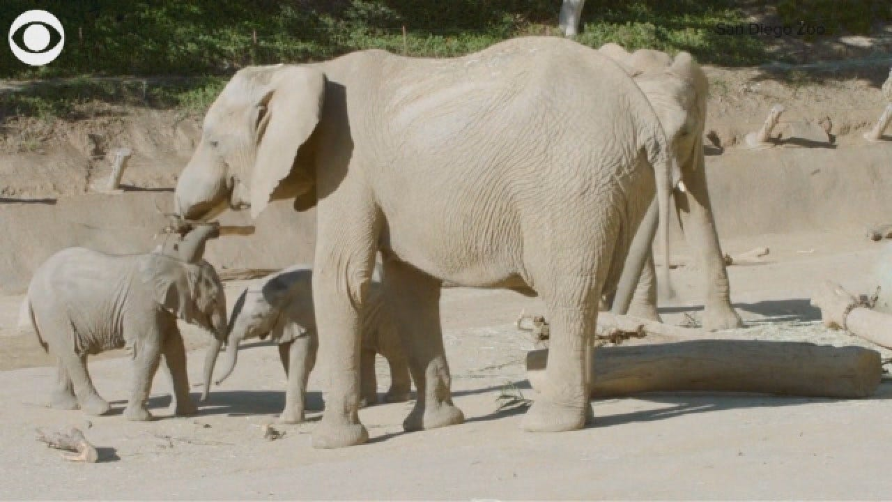 Playtime: 2 Elephant Calves Play Together At San Diego Zoo
