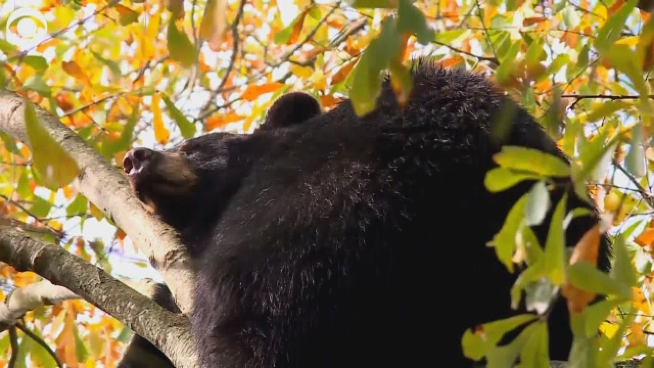 Arkansas Bears Find Perfect Place For Nap