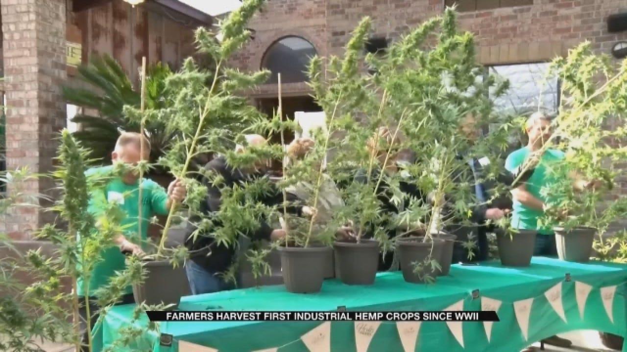 Oklahoma Farmers Celebrate First Industrial Hemp Harvest Since WWII
