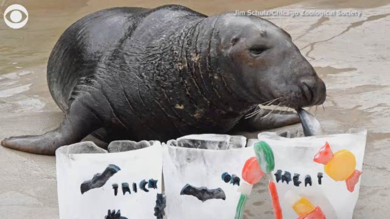 Zoo Animals In Illinois Enjoy Delicious Treats For Halloween