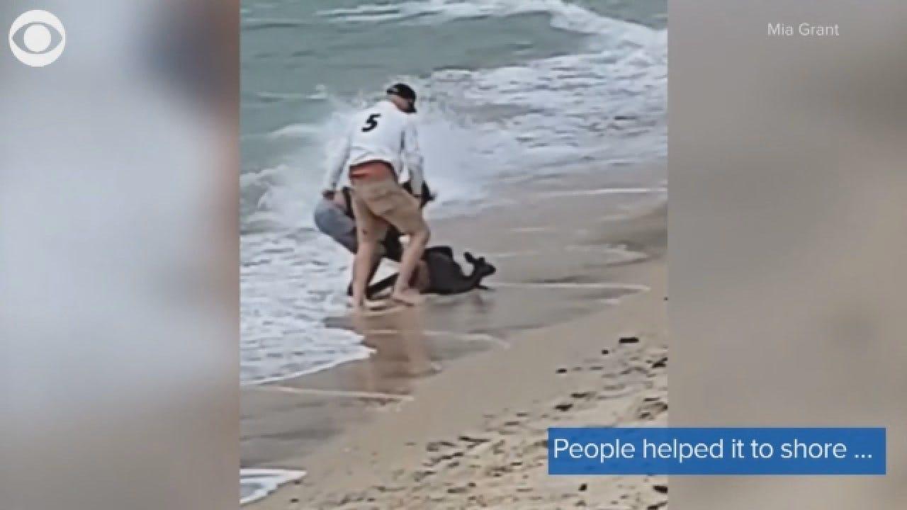 Struggling Kangaroo Rescued From Australian Beach