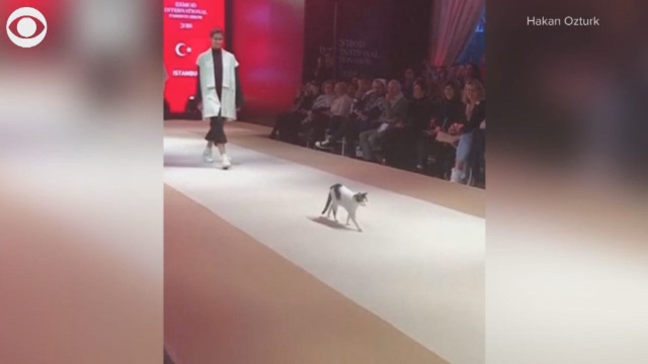 Feline Gives New, Literal Meaning To 'Catwalk'