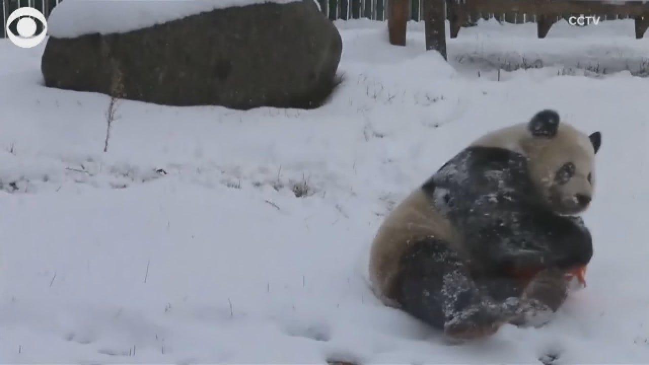 Pandas In China Enjoying First Snow Of Season