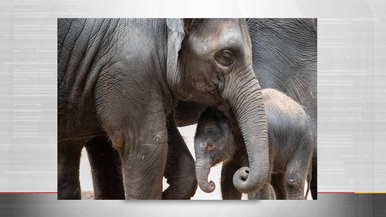 OKC Zoo Welcomes New Baby Elephant