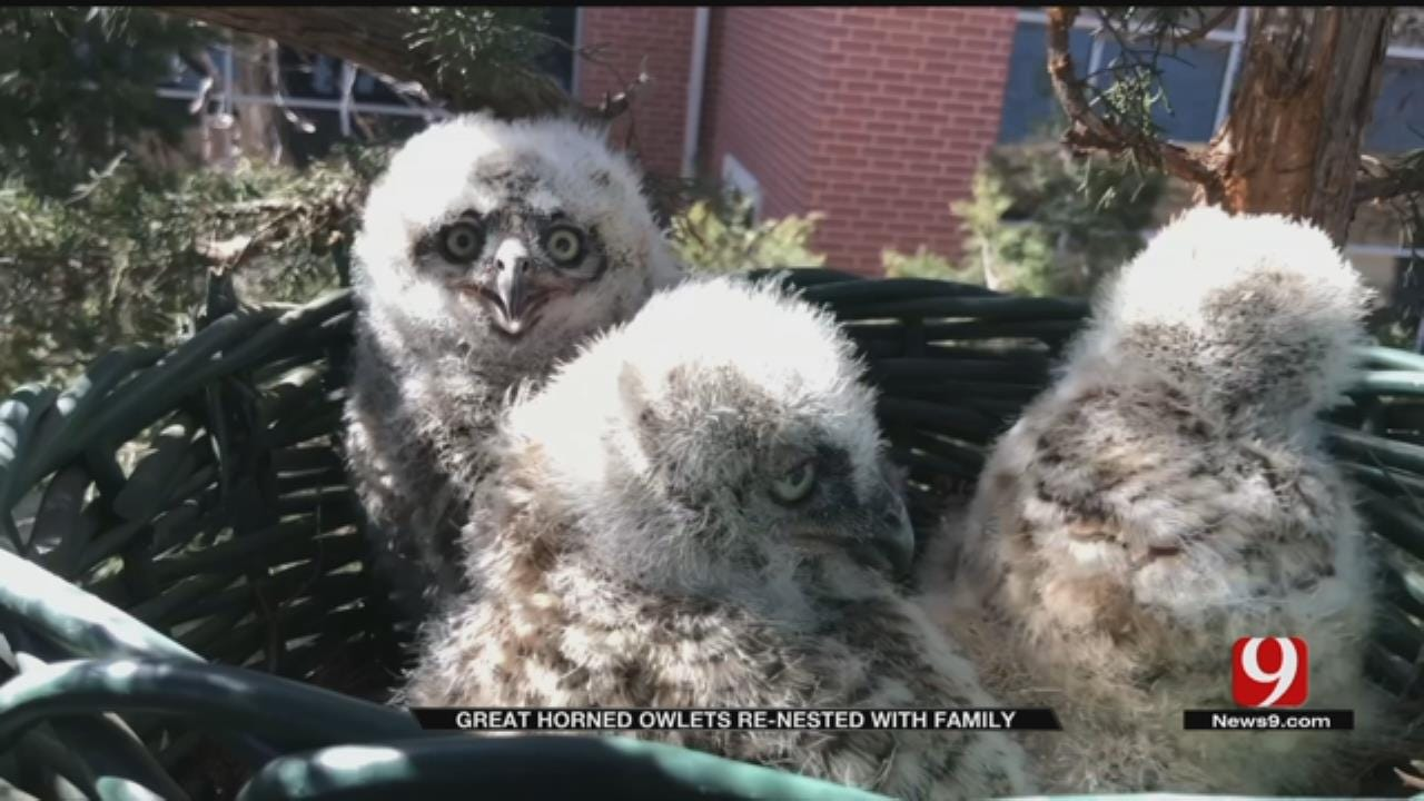 Edmond Great Horned Owlets Renested With Family
