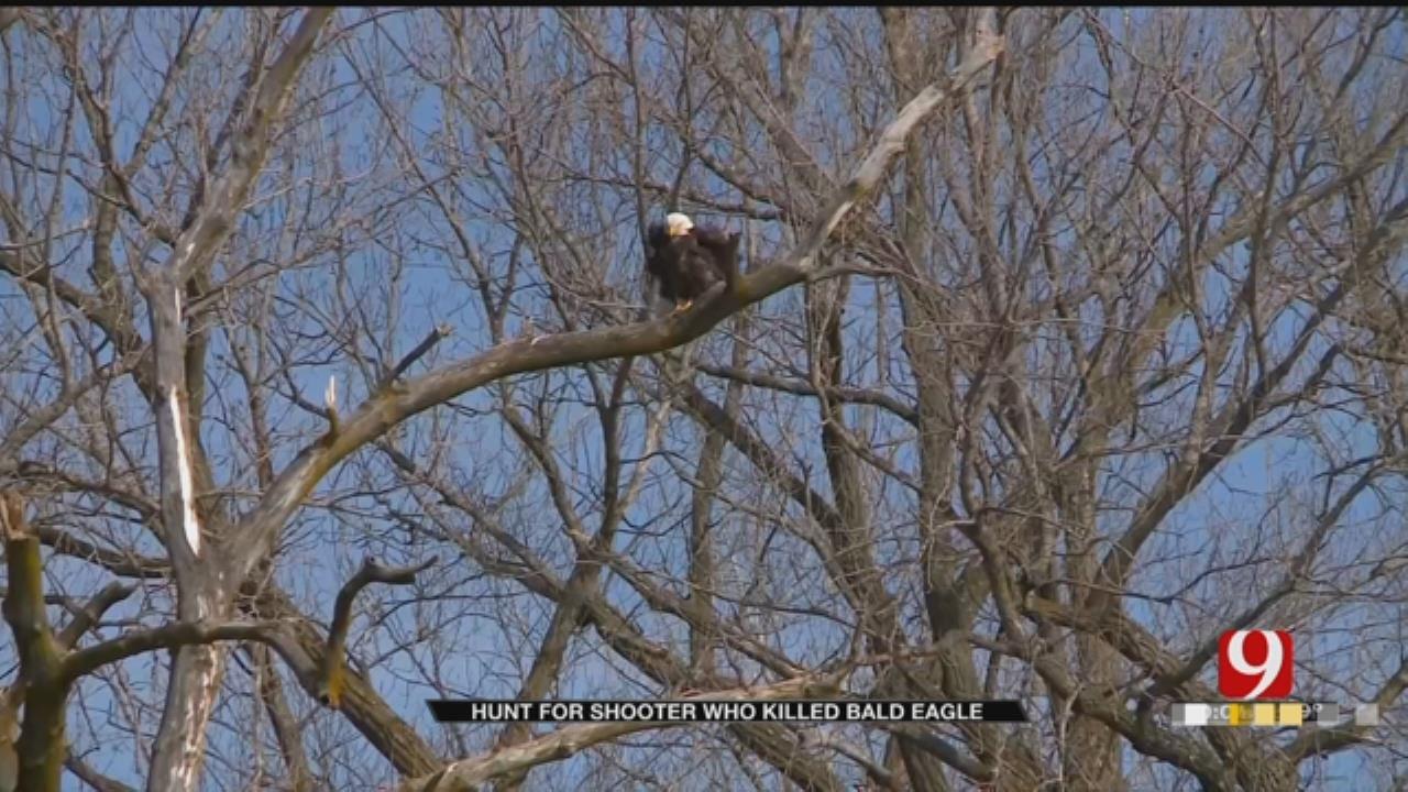 Bald Eagle Shot And Killed Along Oklahoma Road