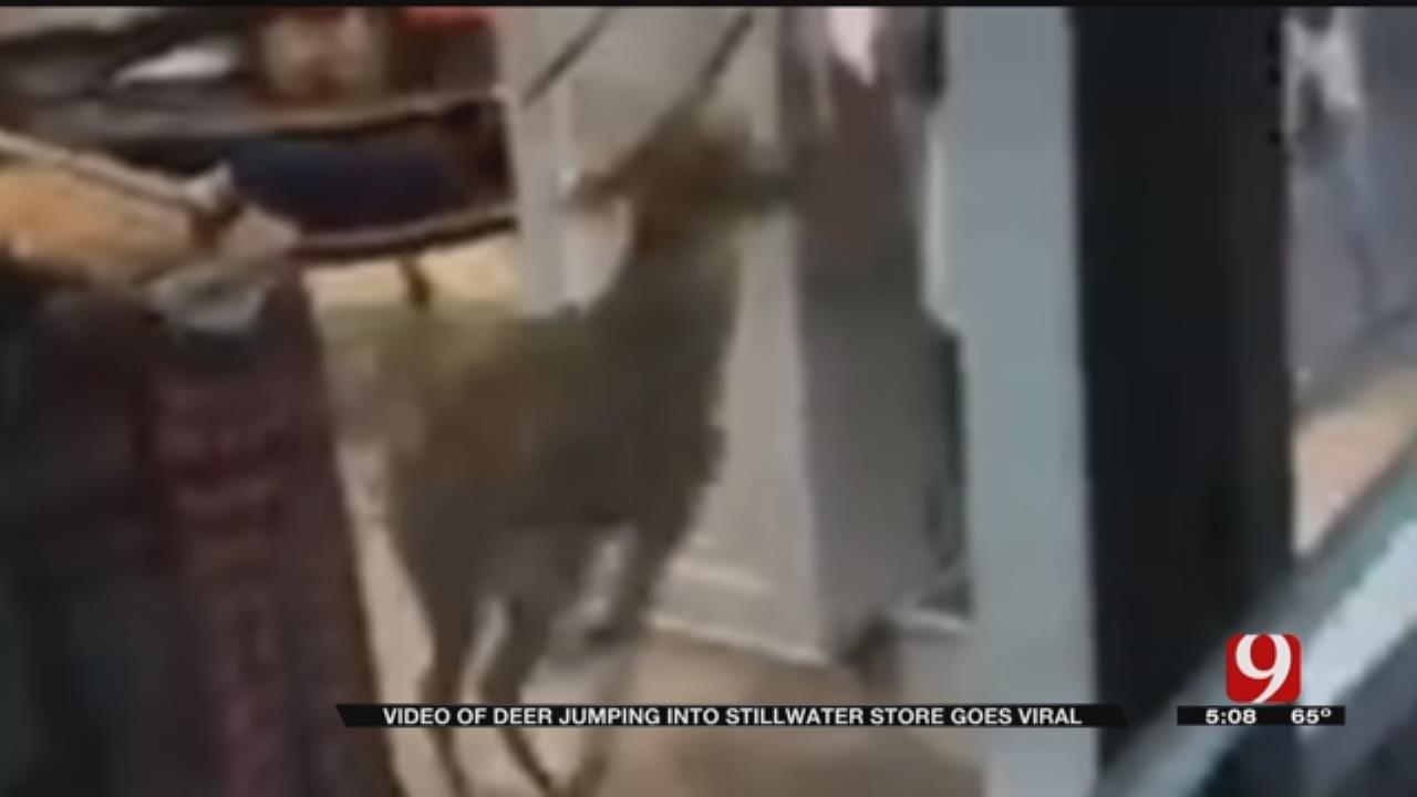 Buck Bursts Through Stillwater Store Window