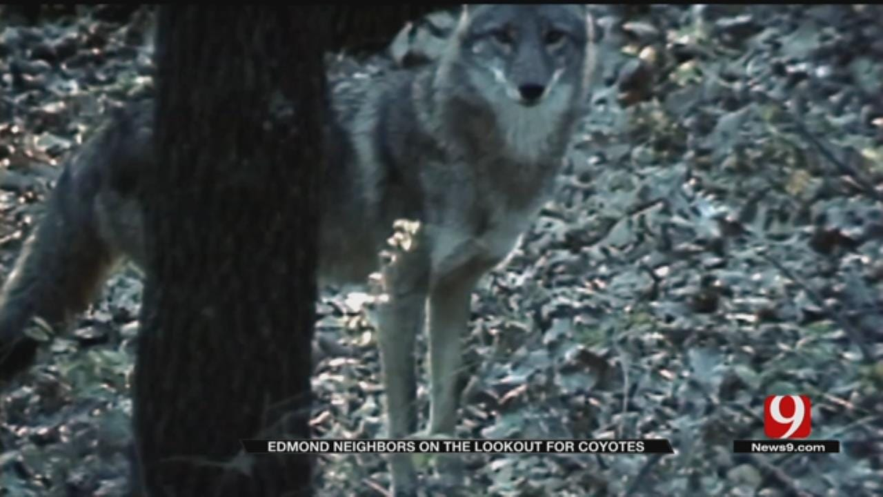 Edmond Residents Concerned Over Coyote Attacks On Small Pets