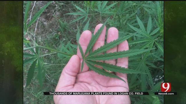 Deer Hunter Finds Thousands Of Marijuana Plants In Logan Co.