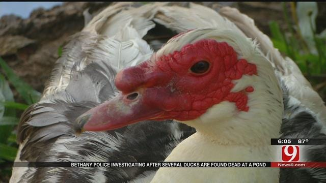 Neighbor Finds 14 Ducks Dead At Bethany Pond