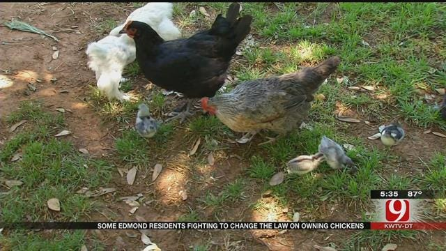 Edmond Woman Wants To Break Misconceptions Of Having Backyard Chickens