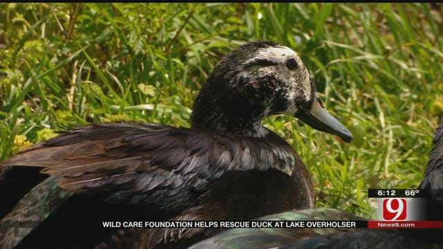 WildCare Foundation Helps Rescue Duck At Lake Overholser
