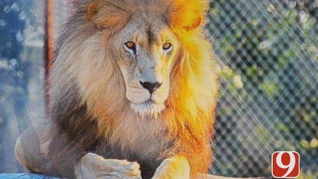 Grady County Tiger Safari Under Fire For Lion's Death