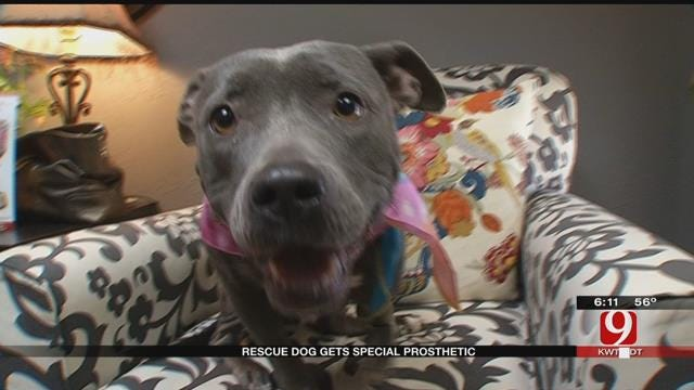 Former Bait Dog With Deformed Paw Gets Prosthesis