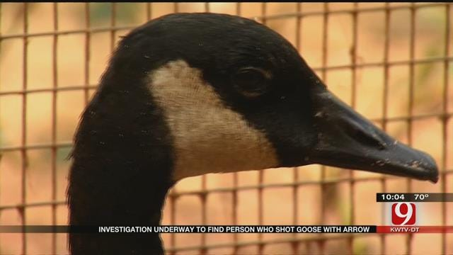 Authorities Look For Illegal Hunter After Finding Wounded Goose