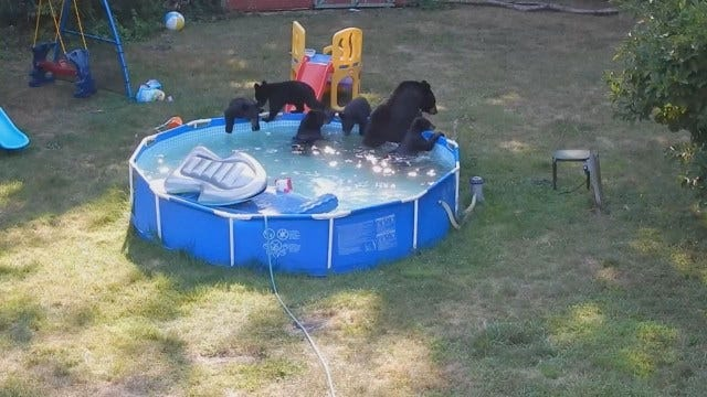 Mama Bear, Cubs Party In New Jersey Family's Pool