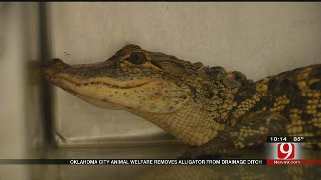 Oklahoma City Animal Welfare Removes Alligator From Drainage Ditch