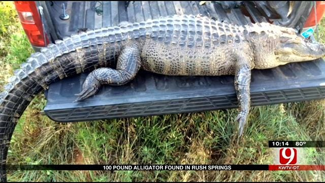 100 LB. Alligator Found In Rush Springs