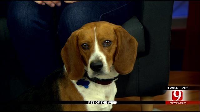 Pet Of The Week: Meet Beagle Boy