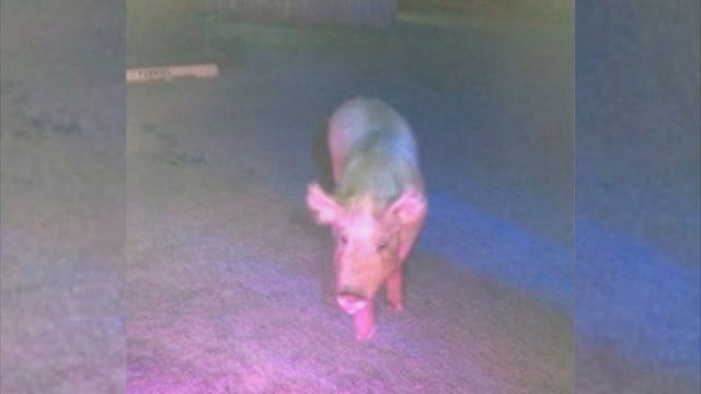 Pig On The Loose: OCSO Calls In For Backup