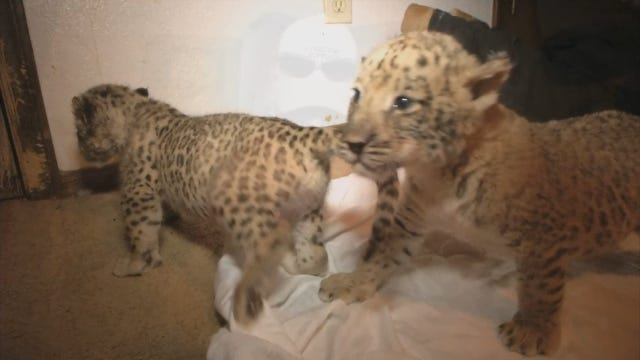 Wynnewood Exotic Animal Park Breeds Nation's First 'Liligers'
