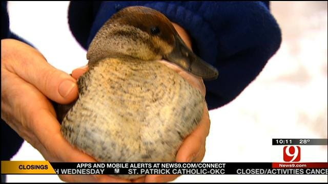 Icy Weather Causes Flock Of Ducks To Crash Near Noble