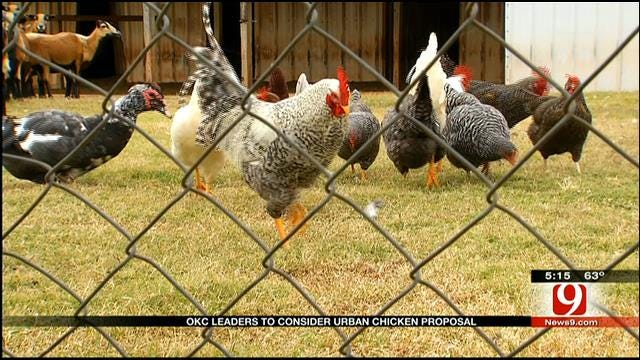 City Considers Changing Chicken Ordinance