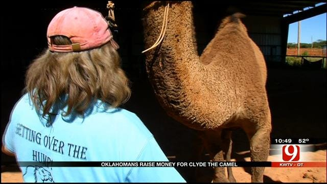 Two-Day Fundraiser Held To Help Heal Clyde The Camel