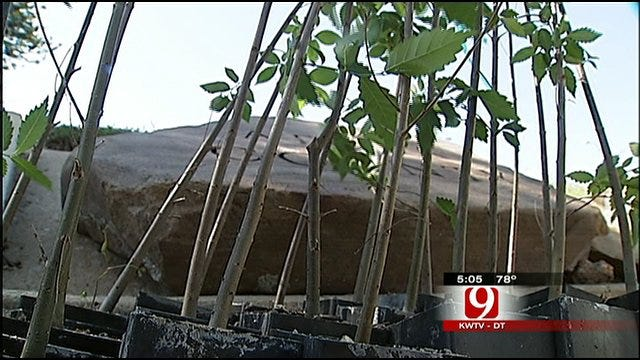 Seedlings From OKC Survivor Tree Spread New Life