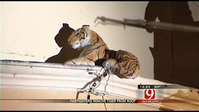Tiger Sighting Actually False Alarm